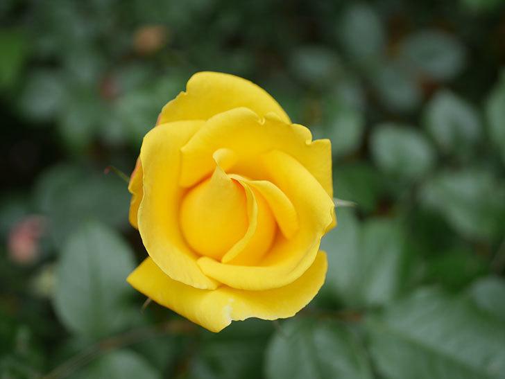レヨン・ドゥ・ソレイユ(Rayon de Soleil)の花が咲いた。木立バラ。2021年-004.jpg