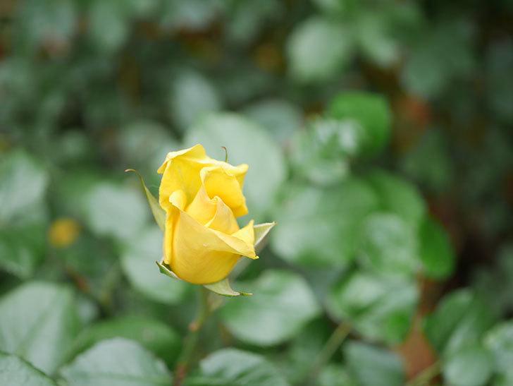 レヨン・ドゥ・ソレイユ(Rayon de Soleil)の花が咲いた。木立バラ。2021年-005.jpg