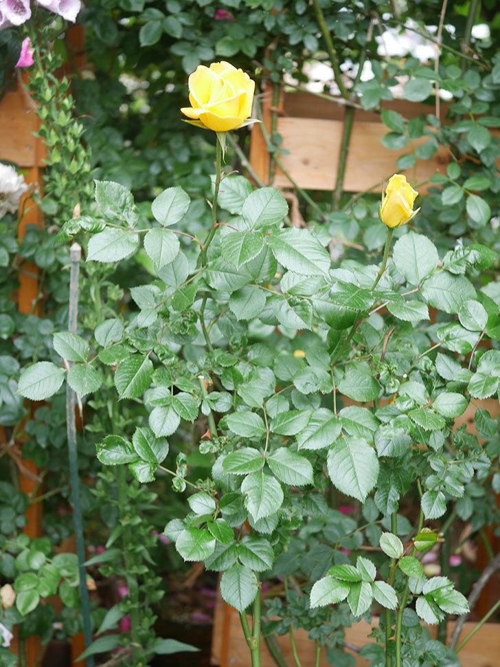 レヨン・ドゥ・ソレイユ(Rayon de Soleil)の花が咲いた。木立バラ。2021年-006.jpg
