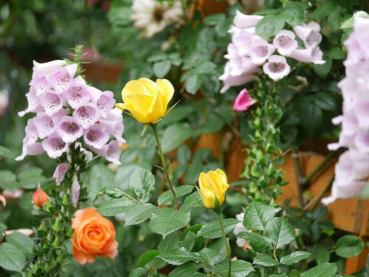 レヨン・ドゥ・ソレイユ(Rayon de Soleil)の花が咲いた。木立バラ。2021年-008.jpg