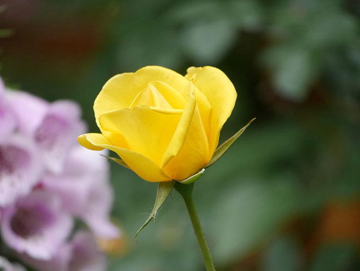 レヨン・ドゥ・ソレイユ(Rayon de Soleil)の花が咲いた。木立バラ。2021年-009.jpg