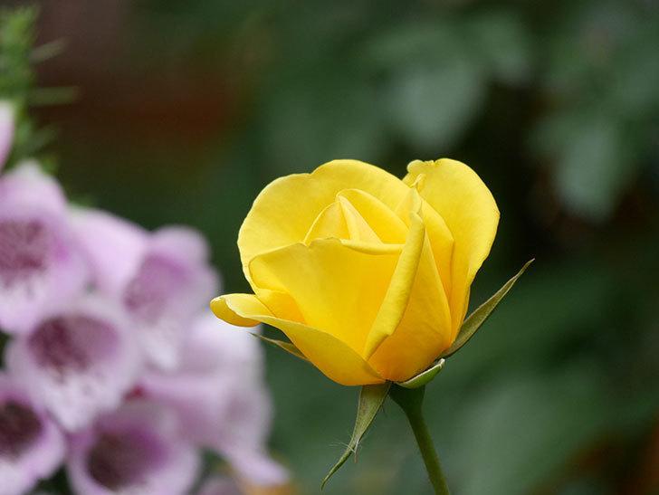 レヨン・ドゥ・ソレイユ(Rayon de Soleil)の花が咲いた。木立バラ。2021年-010.jpg