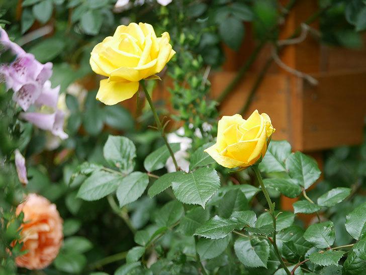 レヨン・ドゥ・ソレイユ(Rayon de Soleil)の花が咲いた。木立バラ。2021年-011.jpg