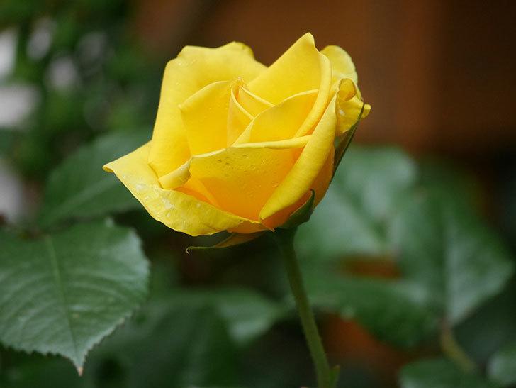 レヨン・ドゥ・ソレイユ(Rayon de Soleil)の花が咲いた。木立バラ。2021年-012.jpg
