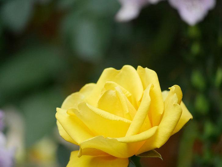 レヨン・ドゥ・ソレイユ(Rayon de Soleil)の花が咲いた。木立バラ。2021年-013.jpg