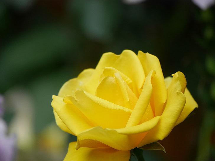 レヨン・ドゥ・ソレイユ(Rayon de Soleil)の花が咲いた。木立バラ。2021年-014.jpg
