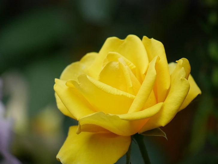 レヨン・ドゥ・ソレイユ(Rayon de Soleil)の花が咲いた。木立バラ。2021年-015.jpg