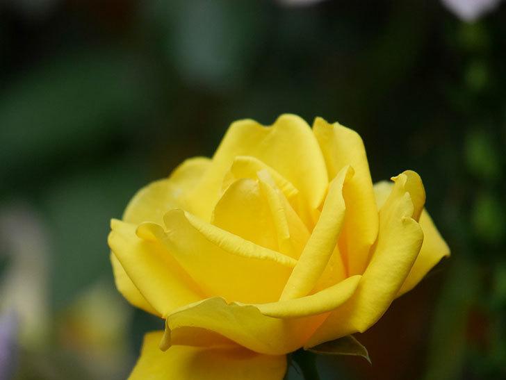 レヨン・ドゥ・ソレイユ(Rayon de Soleil)の花が咲いた。木立バラ。2021年-016.jpg
