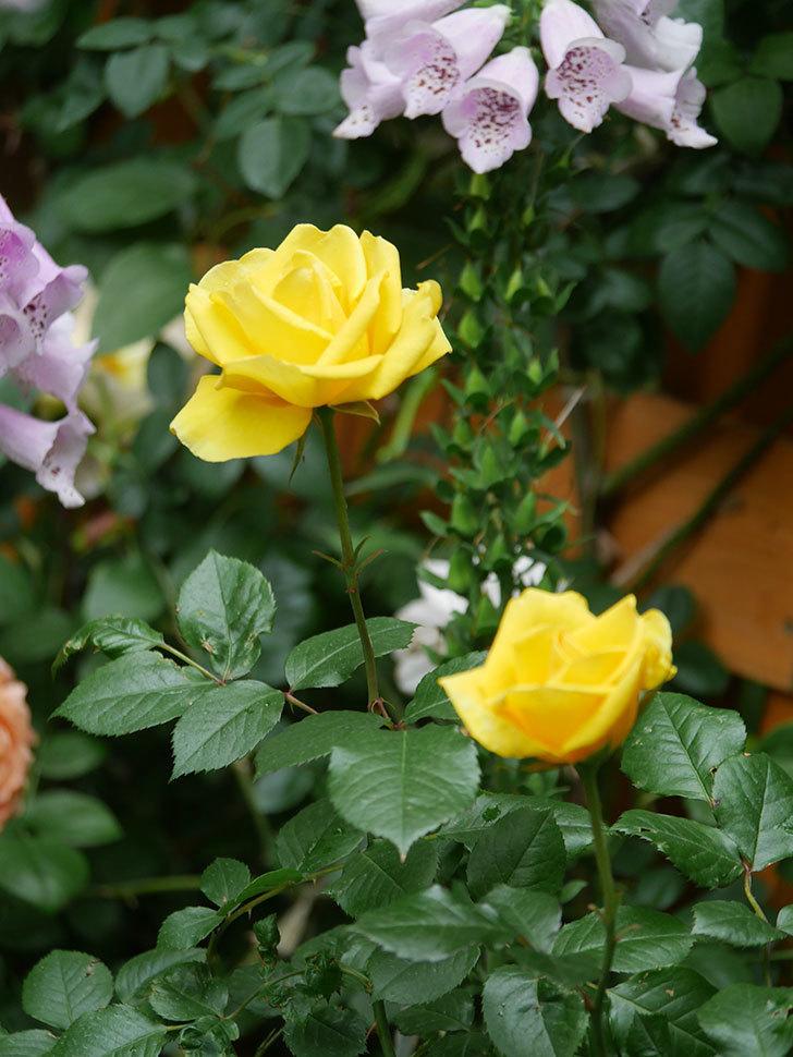 レヨン・ドゥ・ソレイユ(Rayon de Soleil)の花が咲いた。木立バラ。2021年-017.jpg