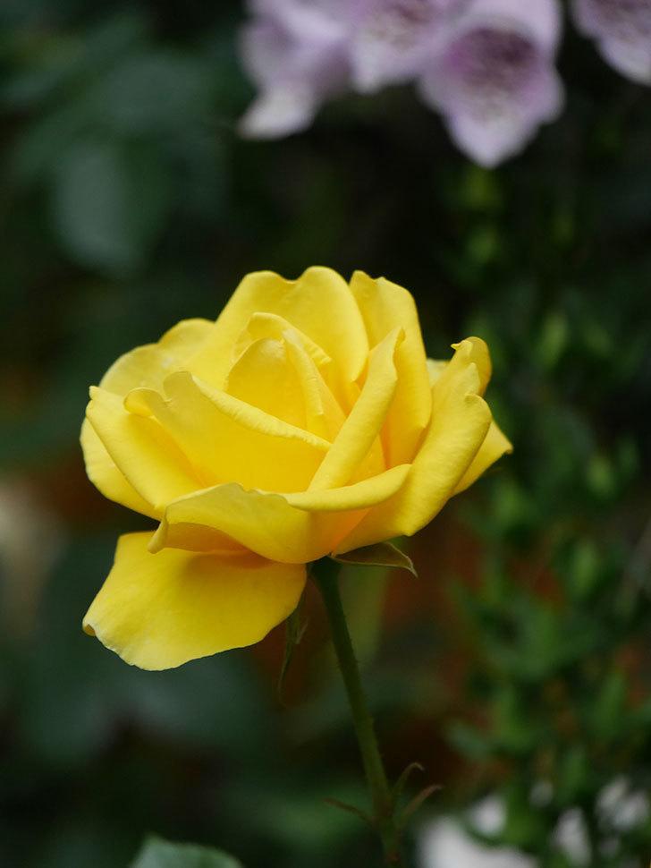 レヨン・ドゥ・ソレイユ(Rayon de Soleil)の花が咲いた。木立バラ。2021年-018.jpg