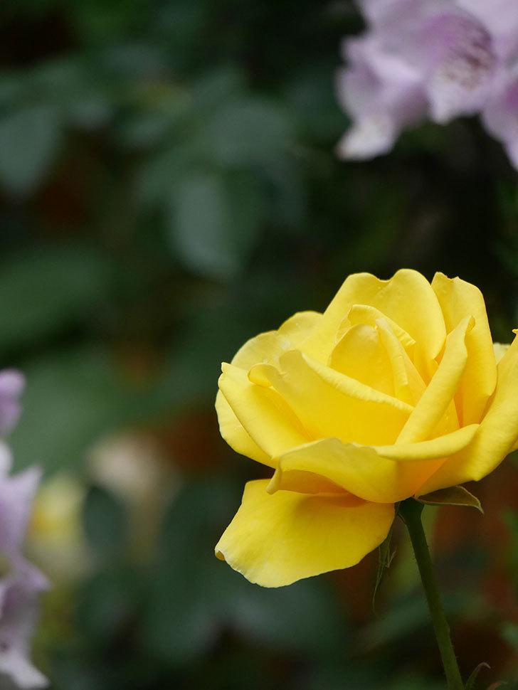 レヨン・ドゥ・ソレイユ(Rayon de Soleil)の花が咲いた。木立バラ。2021年-019.jpg