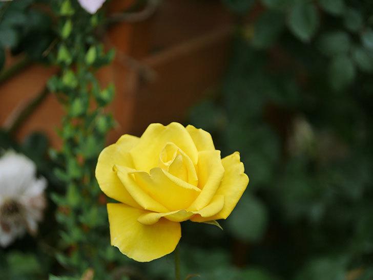 レヨン・ドゥ・ソレイユ(Rayon de Soleil)の花が咲いた。木立バラ。2021年-020.jpg