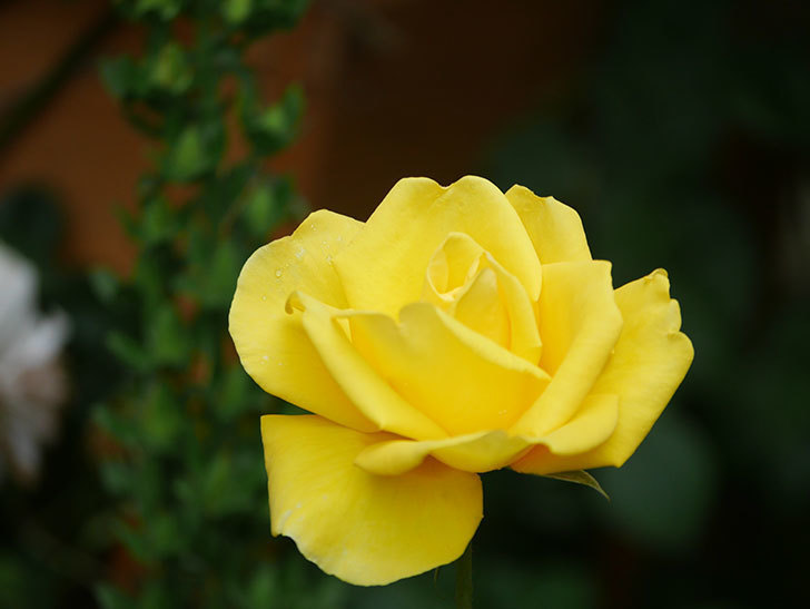 レヨン・ドゥ・ソレイユ(Rayon de Soleil)の花が咲いた。木立バラ。2021年-021.jpg