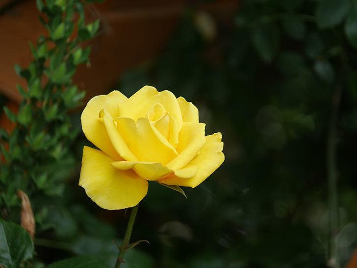 レヨン・ドゥ・ソレイユ(Rayon de Soleil)の花が咲いた。木立バラ。2021年-022.jpg