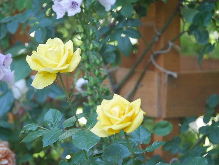 レヨン・ドゥ・ソレイユ(Rayon de Soleil)の花が咲いた。木立バラ。2021年-023.jpg