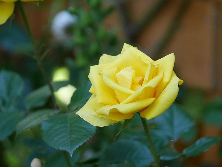 レヨン・ドゥ・ソレイユ(Rayon de Soleil)の花が咲いた。木立バラ。2021年-024.jpg