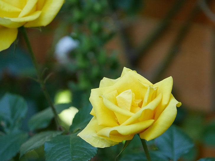 レヨン・ドゥ・ソレイユ(Rayon de Soleil)の花が咲いた。木立バラ。2021年-025.jpg