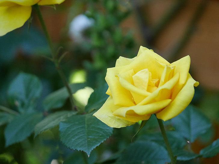 レヨン・ドゥ・ソレイユ(Rayon de Soleil)の花が咲いた。木立バラ。2021年-026.jpg