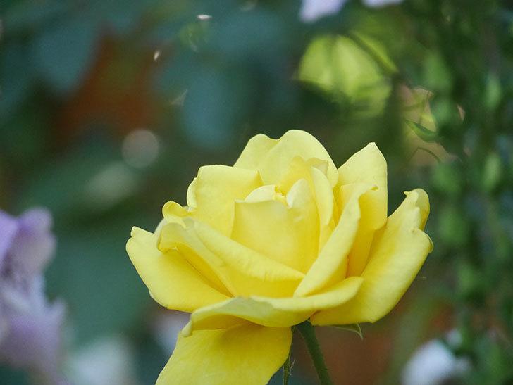 レヨン・ドゥ・ソレイユ(Rayon de Soleil)の花が咲いた。木立バラ。2021年-027.jpg