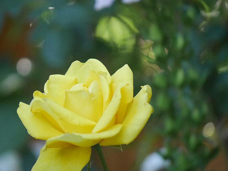 レヨン・ドゥ・ソレイユ(Rayon de Soleil)の花が咲いた。木立バラ。2021年-028.jpg