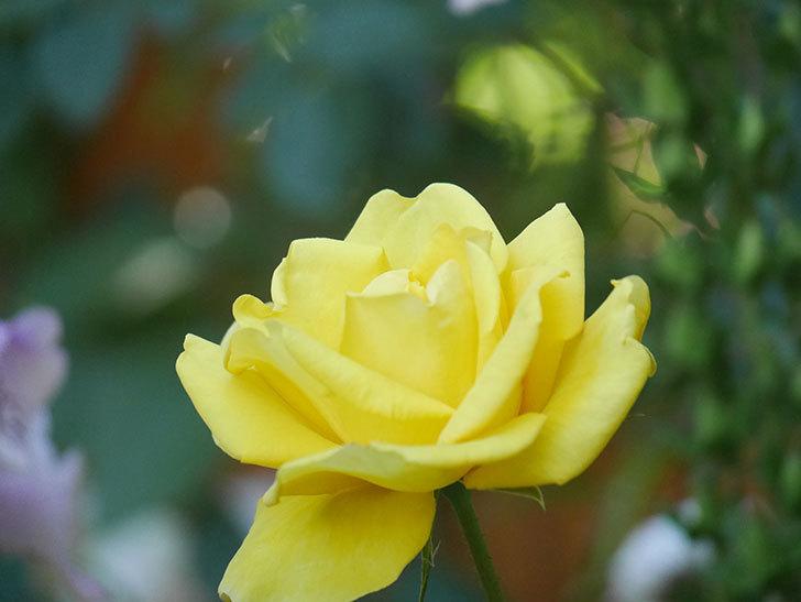 レヨン・ドゥ・ソレイユ(Rayon de Soleil)の花が咲いた。木立バラ。2021年-029.jpg
