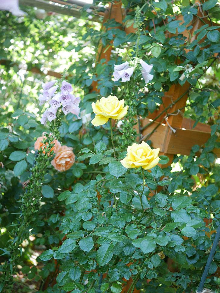 レヨン・ドゥ・ソレイユ(Rayon de Soleil)の花が咲いた。木立バラ。2021年-030.jpg