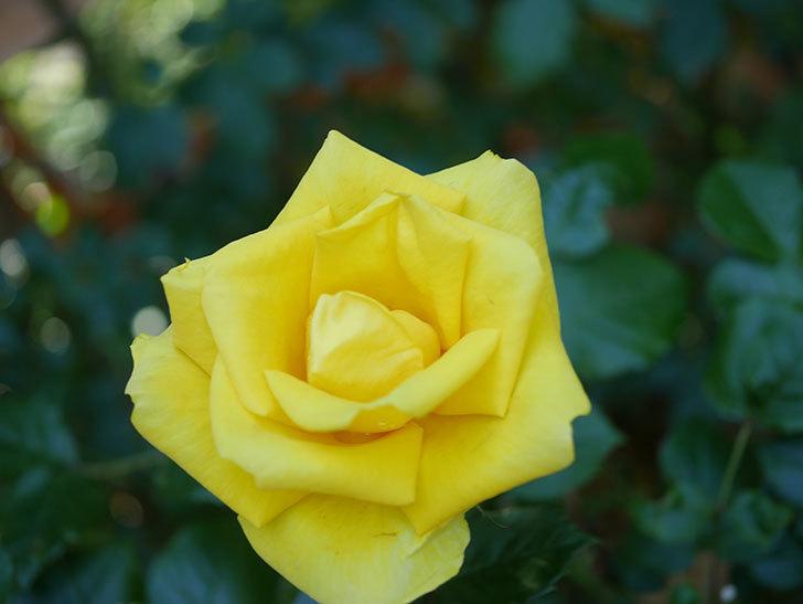 レヨン・ドゥ・ソレイユ(Rayon de Soleil)の花が咲いた。木立バラ。2021年-031.jpg