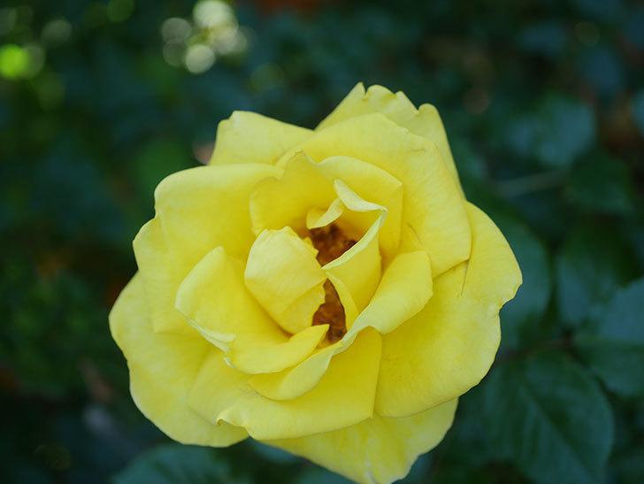 レヨン・ドゥ・ソレイユ(Rayon de Soleil)の花が咲いた。木立バラ。2021年-032.jpg