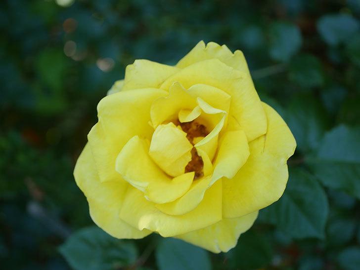レヨン・ドゥ・ソレイユ(Rayon de Soleil)の花が咲いた。木立バラ。2021年-033.jpg