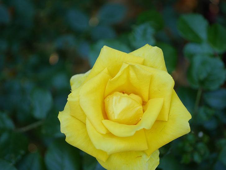 レヨン・ドゥ・ソレイユ(Rayon de Soleil)の花が咲いた。木立バラ。2021年-034.jpg