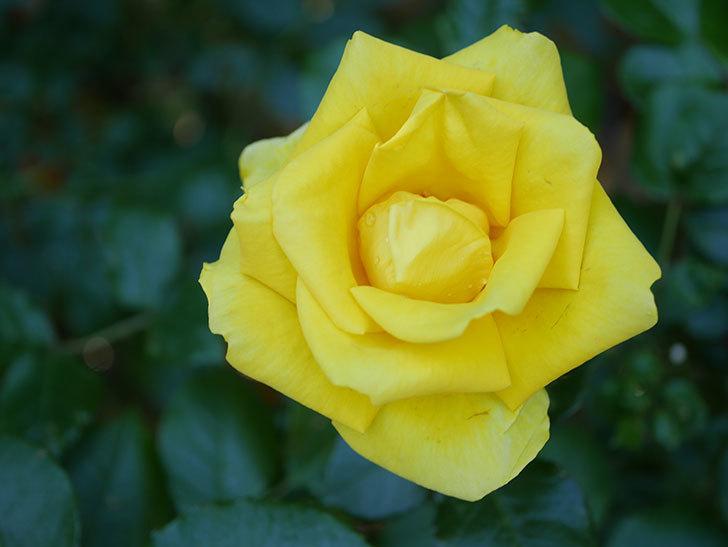 レヨン・ドゥ・ソレイユ(Rayon de Soleil)の花が咲いた。木立バラ。2021年-035.jpg