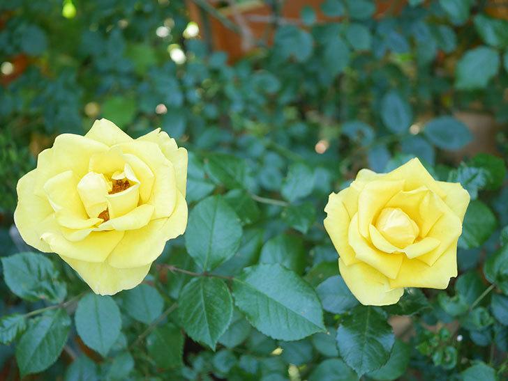 レヨン・ドゥ・ソレイユ(Rayon de Soleil)の花が咲いた。木立バラ。2021年-036.jpg