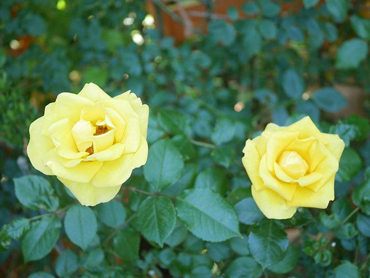 レヨン・ドゥ・ソレイユ(Rayon de Soleil)の花が咲いた。木立バラ。2021年-037.jpg