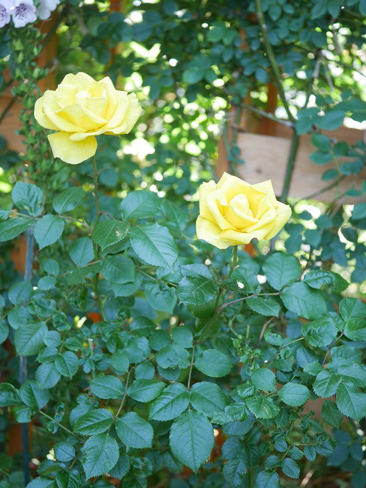 レヨン・ドゥ・ソレイユ(Rayon de Soleil)の花が咲いた。木立バラ。2021年-038.jpg