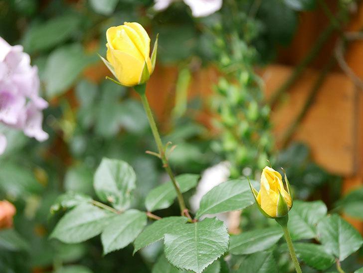 レヨン・ドゥ・ソレイユ(Rayon de Soleil)の花が咲きだした。木立バラ。2021年-001.jpg