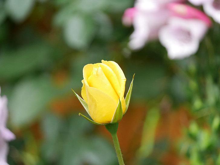 レヨン・ドゥ・ソレイユ(Rayon de Soleil)の花が咲きだした。木立バラ。2021年-002.jpg