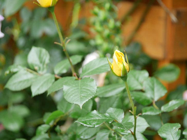 レヨン・ドゥ・ソレイユ(Rayon de Soleil)の花が咲きだした。木立バラ。2021年-005.jpg