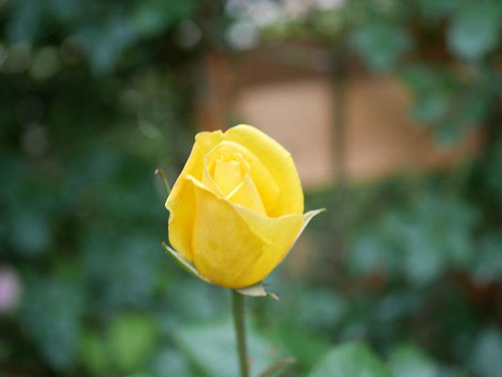 レヨン・ドゥ・ソレイユ(Rayon de Soleil)の花が咲きだした。木立バラ。2021年-006.jpg