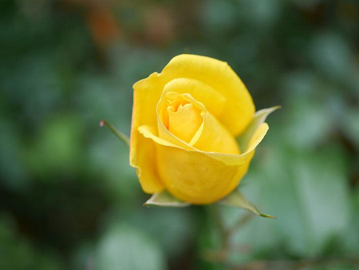 レヨン・ドゥ・ソレイユ(Rayon de Soleil)の花が咲きだした。木立バラ。2021年-009.jpg