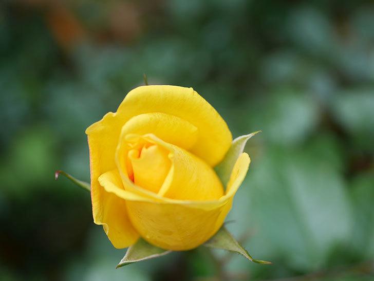 レヨン・ドゥ・ソレイユ(Rayon de Soleil)の花が咲きだした。木立バラ。2021年-010.jpg