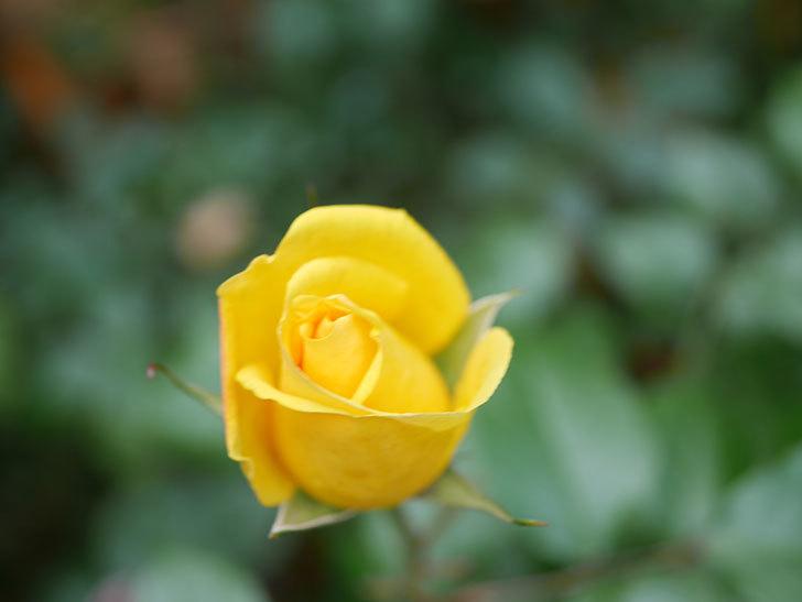 レヨン・ドゥ・ソレイユ(Rayon de Soleil)の花が咲きだした。木立バラ。2021年-011.jpg