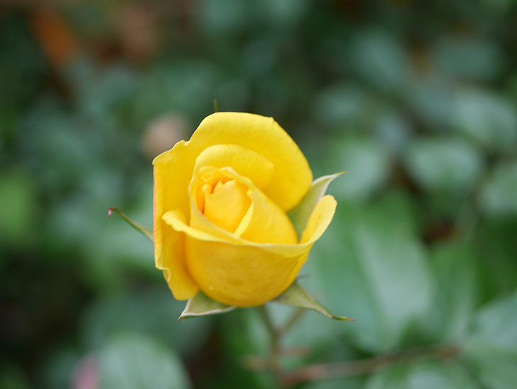 レヨン・ドゥ・ソレイユ(Rayon de Soleil)の花が咲きだした。木立バラ。2021年-012.jpg
