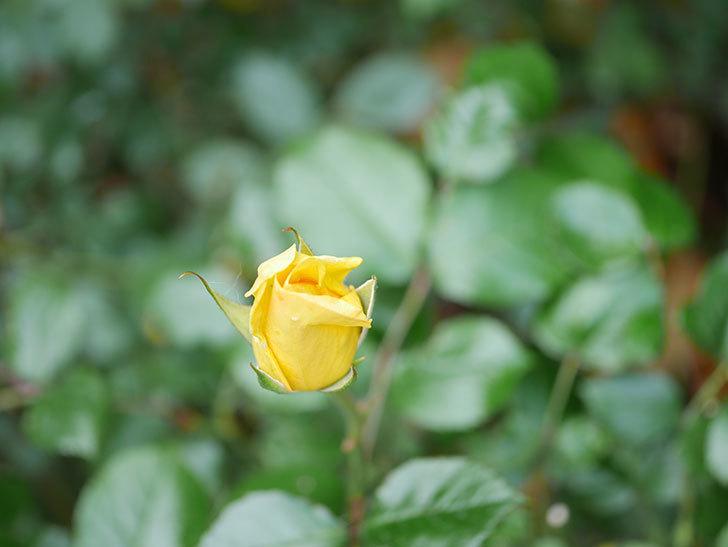 レヨン・ドゥ・ソレイユ(Rayon de Soleil)の花が咲きだした。木立バラ。2021年-013.jpg