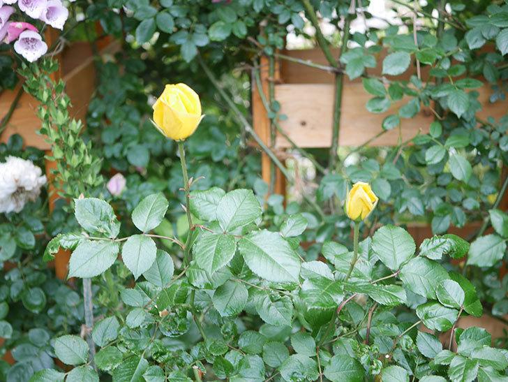 レヨン・ドゥ・ソレイユ(Rayon de Soleil)の花が咲きだした。木立バラ。2021年-014.jpg