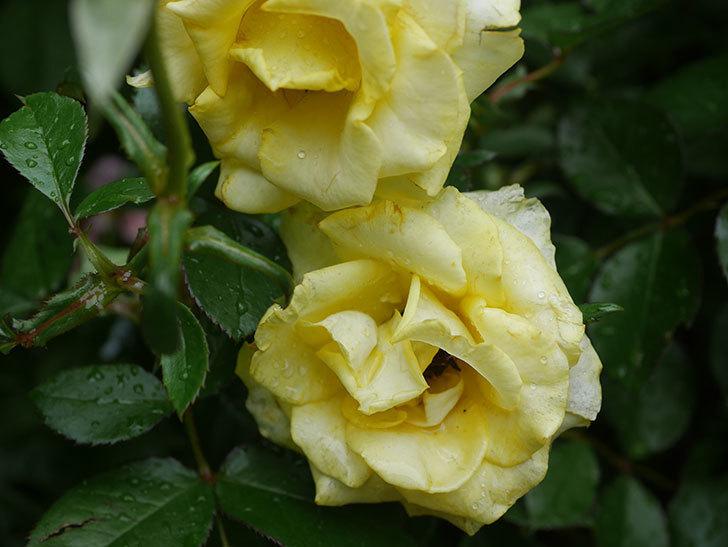 レヨン・ドゥ・ソレイユ(Rayon de Soleil)の花が増えてきた。木立バラ。2020年-002.jpg