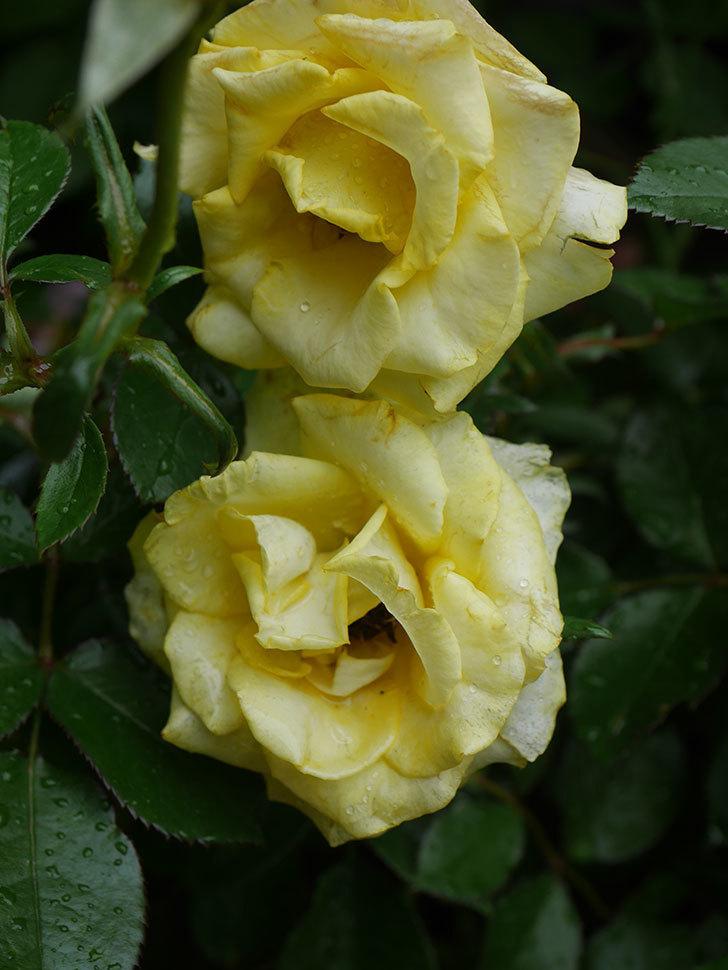 レヨン・ドゥ・ソレイユ(Rayon de Soleil)の花が増えてきた。木立バラ。2020年-003.jpg