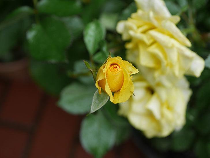 レヨン・ドゥ・ソレイユ(Rayon de Soleil)の花が増えてきた。木立バラ。2020年-004.jpg