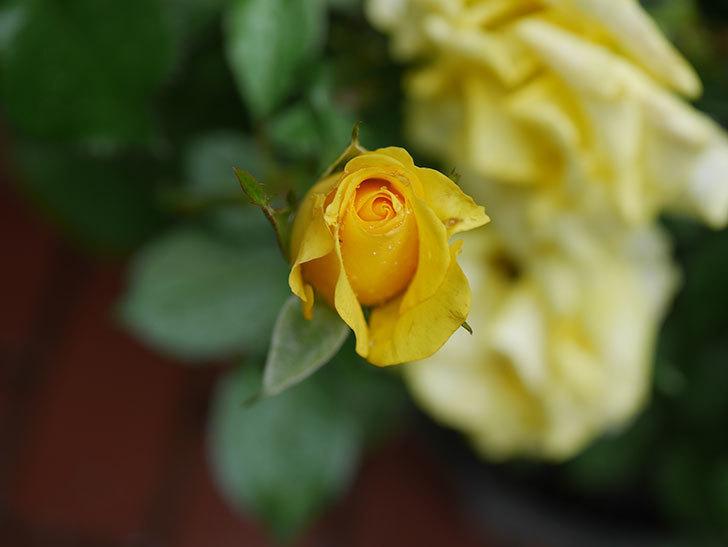 レヨン・ドゥ・ソレイユ(Rayon de Soleil)の花が増えてきた。木立バラ。2020年-005.jpg