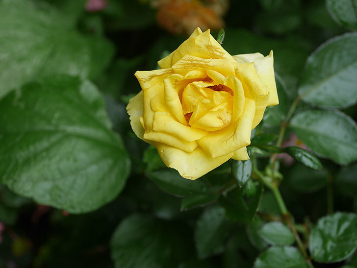 レヨン・ドゥ・ソレイユ(Rayon de Soleil)の花が増えてきた。木立バラ。2020年-006.jpg