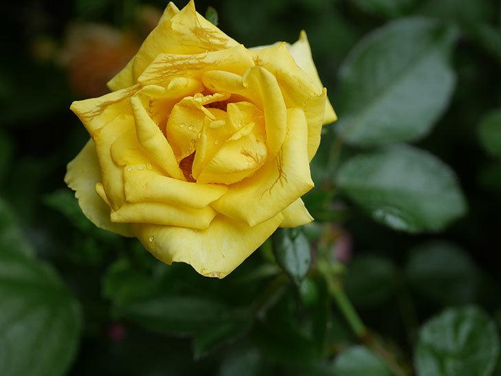レヨン・ドゥ・ソレイユ(Rayon de Soleil)の花が増えてきた。木立バラ。2020年-007.jpg